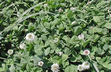Patriot White Clover (Trifolium repens)