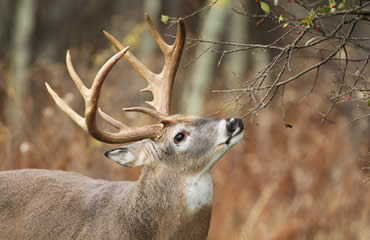 The Gray Nose Deer