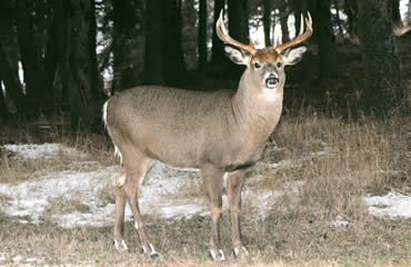 Whitetails React Strongly To Hunting Pressure