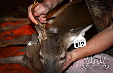 Hole in the Head Buck