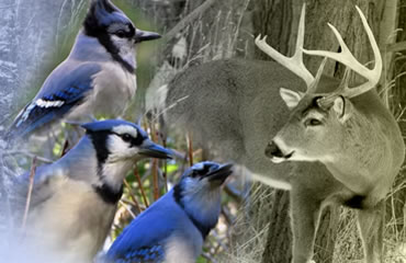 When Jays are Squawking . . .