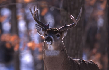 White Smoke and Winter Whitetails