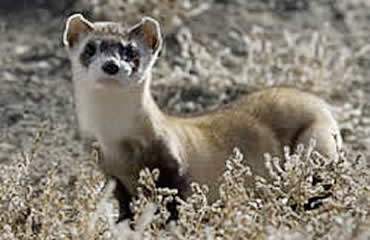 Spotlighting Arizona's black-footed ferrets