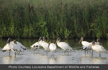 Wood stork colonies continue to grow