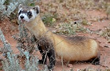 Looking for a few black-footed ferrets