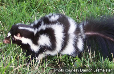 Have you seen a spotted skunk?