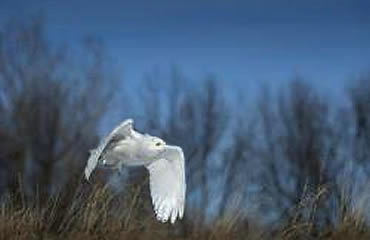 When snowy owls appear in Michigan, biologists and researchers get busy