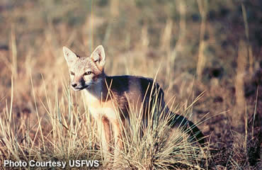 Swift fox—small, speedy and antisocial