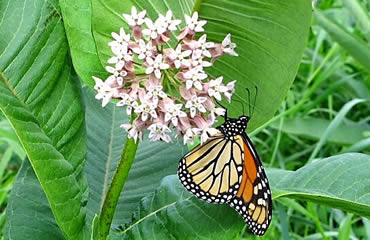 One way to protect the pollinators—plant milkweed