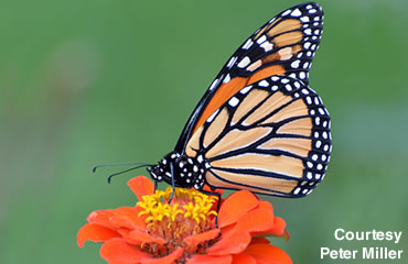 Can you imagine 300 million Monarchs?