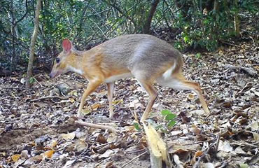 Rediscovered! The Vietnamese Mouse Deer
