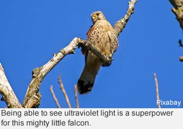 The smallest falcon has its own superpower