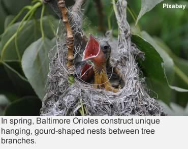 Migrating orioles love Southern hospitality